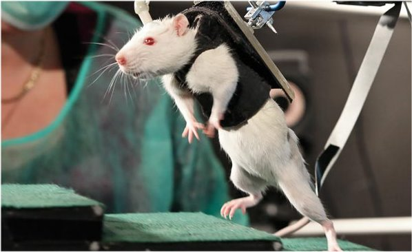 paralyzed-rats-walk-again