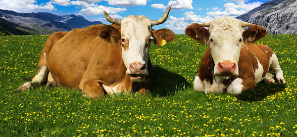 Cows 600x274